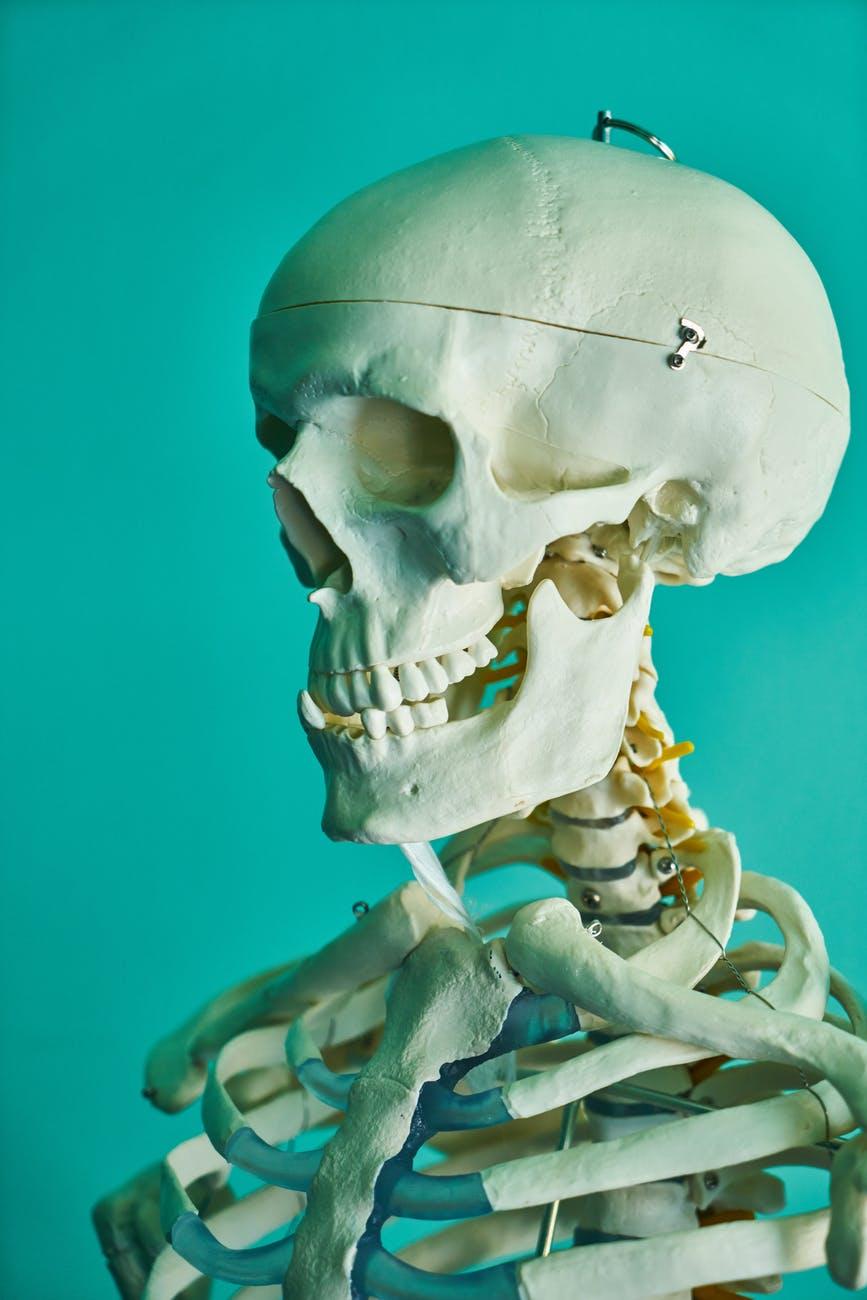 Model of the skeleton